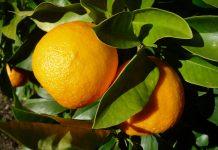 Le arance di Siviglia si trasformano in