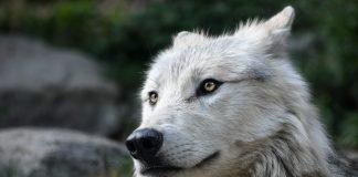 La favola del lupo cattivo