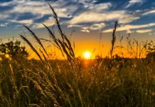 Il grano: un mostro genetico naturale