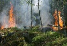 Un'antica sequoia brucia da un anno