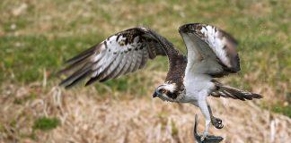 Una specie su quattro di uccelli