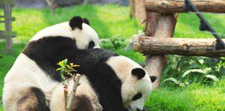 I panda giganti non sono più