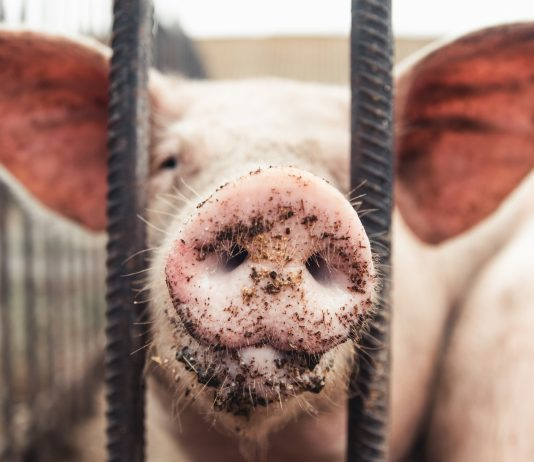maiali nelle gabbie
