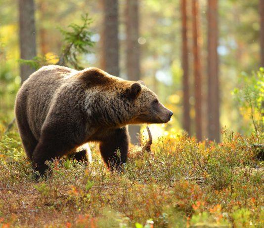 Italia selvatica: l'orso